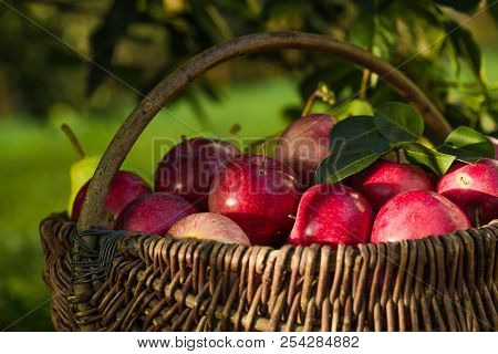 Apple Harvest. Ripe Red Apples In The Basket On The Green Grass. Apple Harvest. Ripe Red Apples Many