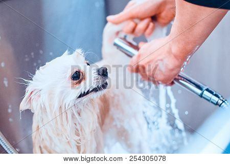 Pomeranian Dog In The Bathroom In The Beauty Salon For Dogs. Toned Image. The Concept Of Popularizin