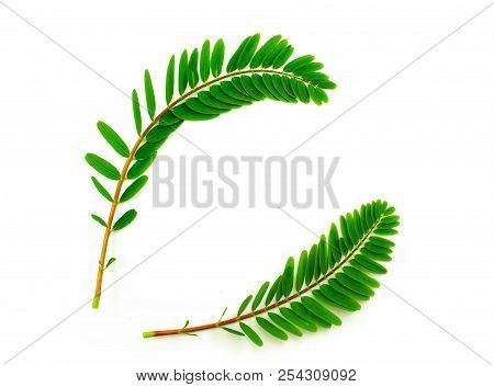 Agasta, Sesban, Vegetable Humming Bird, Butterfly Tree On A White Background