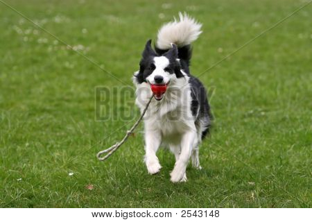 Border Collie With A Ball