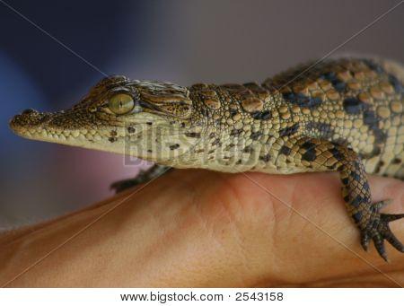 3 Moth Old Crocodile