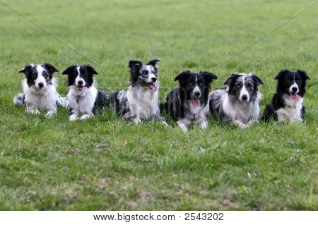 Meeting of border collie family - six dogs on grass poster