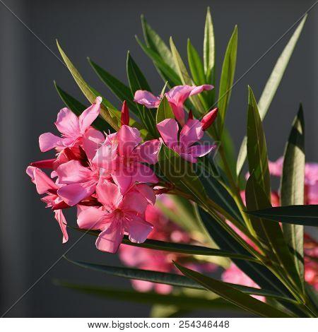 Beautiful Flowering Pink Oleander. A Poisonous, Nice Plant In The Mediterranean. (nerium Oleander)