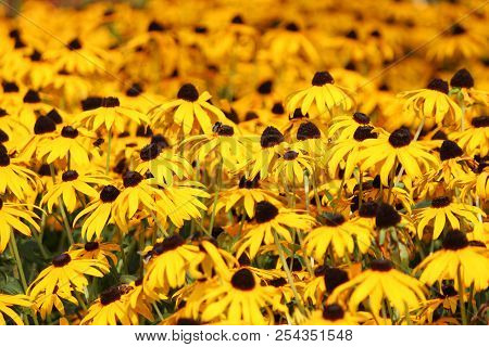 Yellow Leaves And Black Heart Rudbeckia Flowes In Public Park In Nieuwerkerk Aan Den Ijssel.