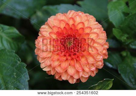 Orange Dahlia Flower Head In Close-up In A Garden In The Netherlands