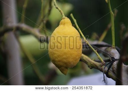 Yellow Lemon Fruits On A Plant In A Greenhouse Nursery In Moerkapelle In The Netherlands
