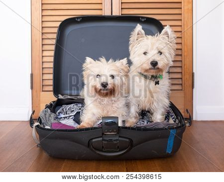 Separation Anxiety: Two Scruffy West Highland White Westie Terrier Dogs Are In Packed Suitcase & Do
