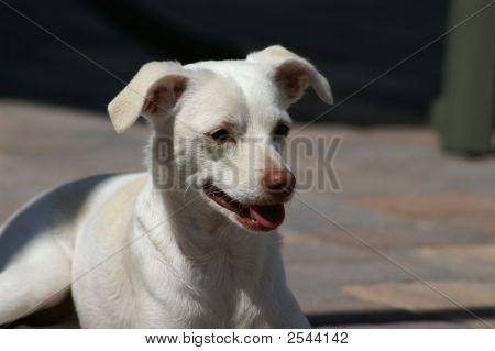 White Puppy Dog