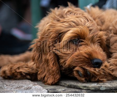 Red Cockapoo Puppy Lying Down