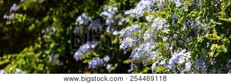 Blue jasmine blooming plant closeup, blur background, banner, space for text