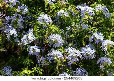 Blue jasmine blooming plant with bright green leaves full background