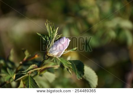 Sunlit Growing Pink Wildrose Bud On A Twig