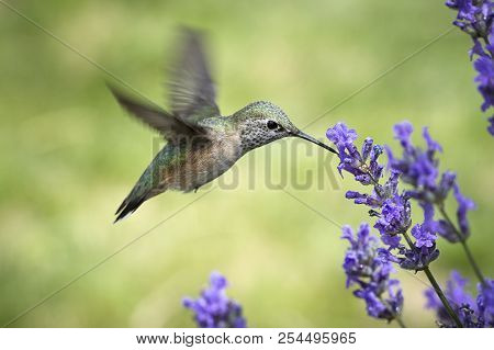 Female Calliope Hummingbird Drinks From Flower. A Female Calliope Hummingbird, Selasphorus Calliope,