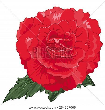 Red Begonia X Tuberhybrida Blossoms. Stock Illustration. Isolated Image On White Background. Symbol