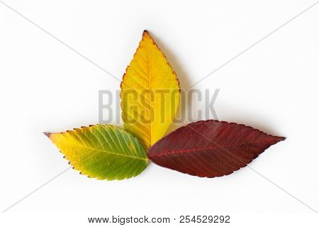 Different colored fall leaves. Set of olorful leaves isolated on white background. Autumn beautiful green, yellow, red and orange leaves, design element. Fall foliage. Color fall.
