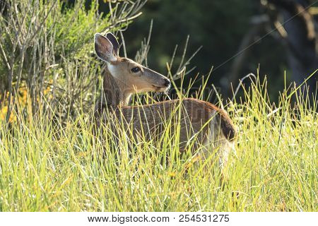 White Tailed Deer In Tall Grass. A White Tail Deer Stands In The Tall Grass In Northwest, Oregon.