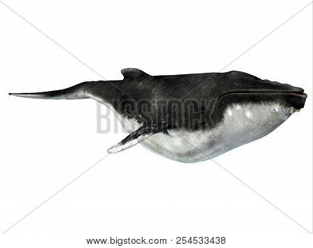 Humpback Whale With Barnacles 3d Illustration - The Humpback Is A Baleen Whale And Many Organisms Hi