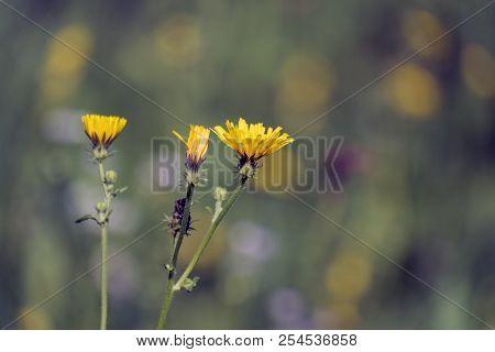 Yellow flame-like Flowers of smooth hawksbeard (Crepis capillaris) poster