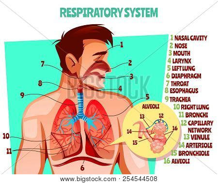 Human Respiratory System Vector Illustration. Cartoon Medical Design Of Man Body With Lungs, Esophag