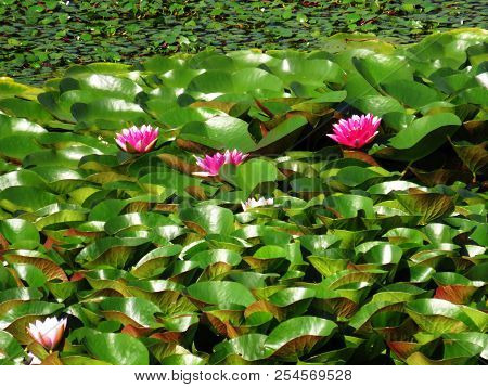 Pink lotus flowers and green leathery leaves in sunny summer day