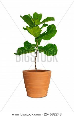 Potted Ficus Larata Or Fiddle Leaf Fig Tree In Pot Isolated On White Backgrongd.