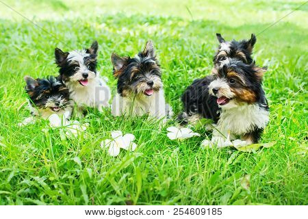 Group Puppy Purebred Black-and-white Biewer Yorkshire Terrier Pet Sunny Day Grass Meadow. Small Size