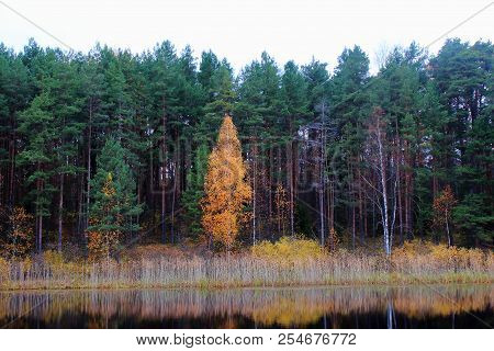 The autumn fir forest. Yellow autumn trees. Autumn nature. Russian forest. The northern forest. Nature Reserve. Golden autumn. Lake in autumn forest. Autumn forest reflected in the lake in september. Autumn landscape. The lake in Russia