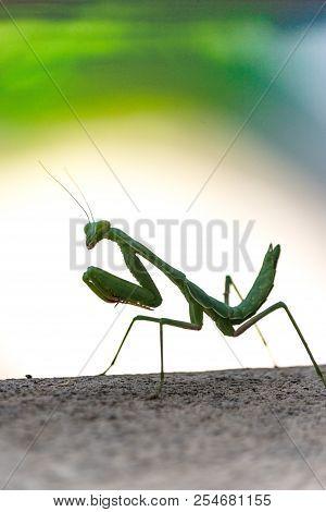 Bright green predatory praying mantis standing on gray deck looking over shoulder at camera poster