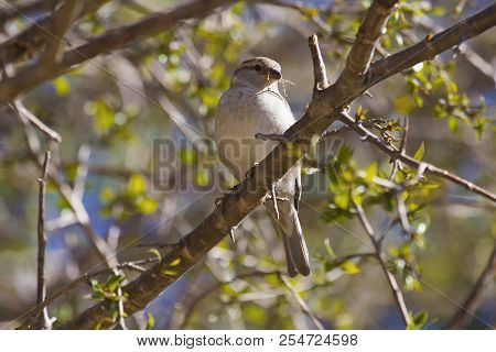Russet Sparrow, Passer Rutilans, Sattal, Uttarakhand, India
