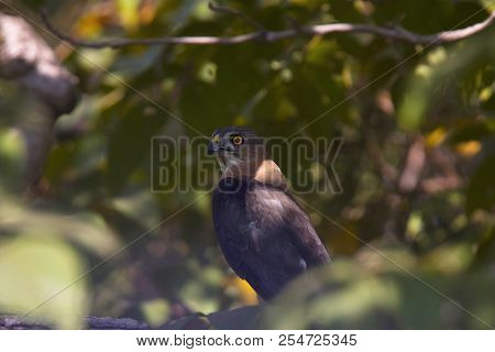 Shikra, Accipiter Badius, Bandhavgarh Tiger Reserve, Madhya Pradesh, India