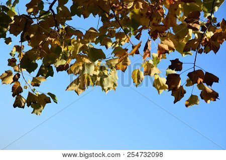Autumn Leaves Hanging Against Bright Blue Sky