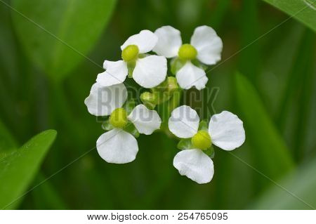 Female Bulltongue Arrowhead Flower, Sagittaria Sp., Central Of Thailand