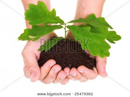 Concept of a young oak tree in woman hands isolated on white background