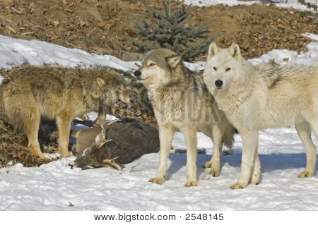 Gray Wolf Pack With Their Kill