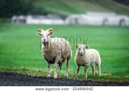 Two sheeps on green meadow. Iceland, Europe