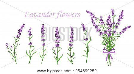 Vector Illustration Of Lavender Flower On Different Shape Branches On White Background. Vintage Fran