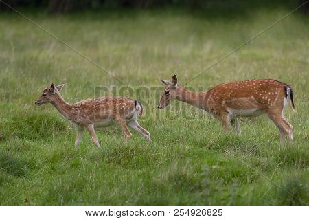 Photo Of Two Female Fallow Deer Walking In Green Grass