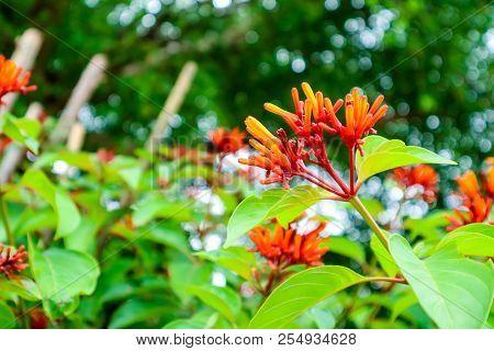 Russelia Equisetiformis Red Boutique Flower Bloom In Garden