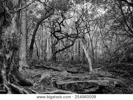 Monochrome Dark Mysterious Forest Scene With Tangled Twisted Branches And Roots On Rocky Ground