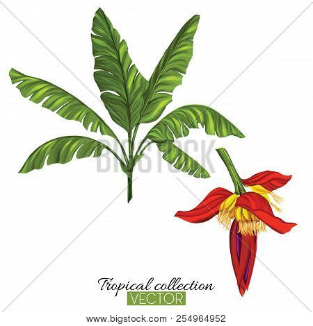 Beautiful Hand Drawn Botanical Vector Illustration With Banana P