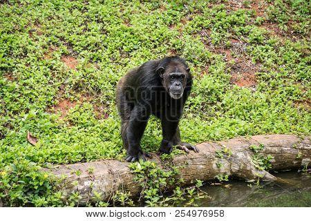 Chimpanzee Mokey Sit On Stump Tree With Grass In Jungle