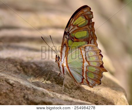 Closeup, Tan, Lime Green, Malachite Butterfly Sitting On Stone