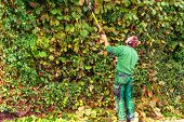 Cutting a hedge with a hedge trimmer motor. poster