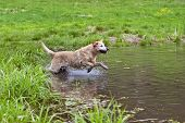 A yellow Labrador Retriever running into a pond. poster