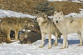 Members of a gray wolf pack stand over their kill poster