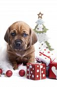 Young cute doggy and Christmas decoration isolated on white poster