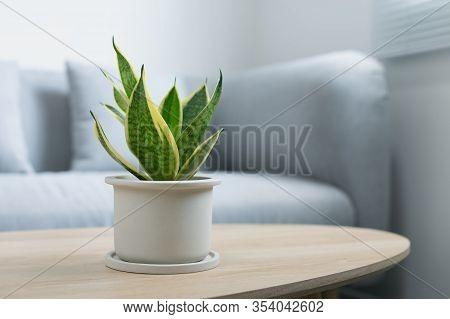Decorative Sansevieria Plant On Wooden Table In Living Room. Sansevieria Trifasciata Prain In Gray C