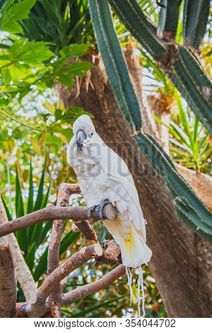 A Picture Of Umbrella Cockatoo In A Conservatory.   Vancouver Bc Canada
