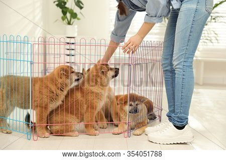 Woman Near Playpen With Akita Inu Puppies Indoors. Baby Animals