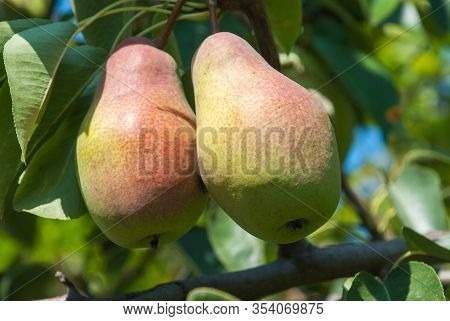 Fresh Juicy Pears On Pear Tree Branch. Organic Pears In Natural Environment. Crop Of Pears In Summer